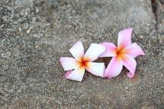 Άσπρο λουλούδι plumeria ή frangipani στο πάτωμα Στοκ φωτογραφίες με δικαίωμα ελεύθερης χρήσης