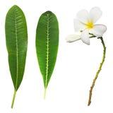 Άσπρο λουλούδι plumeria και πράσινα φύλλα Στοκ φωτογραφία με δικαίωμα ελεύθερης χρήσης