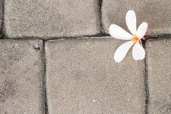 Άσπρο λουλούδι plumeria και το καφετί πάτωμα τσιμέντων Στοκ φωτογραφία με δικαίωμα ελεύθερης χρήσης