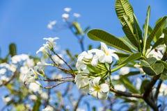 Άσπρο λουλούδι plumeria με μπλε sky1 Στοκ Φωτογραφίες