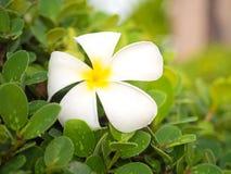 Άσπρο λουλούδι plumeria με τα σταγονίδια Στοκ Εικόνα