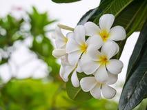 Άσπρο λουλούδι plumeria με τα cloae επάνω στην άποψη Στοκ Φωτογραφίες