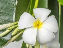 Άσπρο λουλούδι Plumeria (λουλούδια frangipani, Frangipani, παγόδα Στοκ Φωτογραφίες
