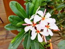 Άσπρο λουλούδι Plumeria (λουλούδια frangipani, Frangipani, παγόδα Στοκ Εικόνες