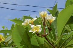 άσπρο λουλούδι plumeria που ανθίζει στο δέντρο, λουλούδι SPA Στοκ Φωτογραφία