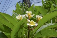 άσπρο λουλούδι plumeria που ανθίζει στο δέντρο, λουλούδι SPA Στοκ Φωτογραφίες