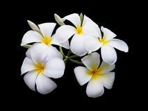 Άσπρο λουλούδι plumeria που απομονώνεται Στοκ φωτογραφία με δικαίωμα ελεύθερης χρήσης