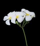 Άσπρο λουλούδι plumeria που απομονώνεται Στοκ εικόνες με δικαίωμα ελεύθερης χρήσης