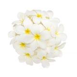 Άσπρο λουλούδι plumeria που διακοσμείται στο άσπρο υπόβαθρο Στοκ εικόνα με δικαίωμα ελεύθερης χρήσης