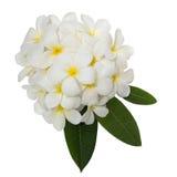 Άσπρο λουλούδι plumeria που διακοσμείται στο άσπρο υπόβαθρο Στοκ Εικόνα