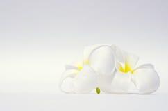 Άσπρο λουλούδι plumeria στο άσπρο υπόβαθρο Στοκ Εικόνα