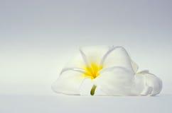 Άσπρο λουλούδι plumeria στο άσπρο υπόβαθρο Στοκ εικόνα με δικαίωμα ελεύθερης χρήσης