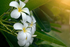 Άσπρο λουλούδι plumeria στο δέντρο Στοκ Εικόνες