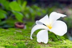 Άσπρο λουλούδι Plumeria στο βρύο και bokeh το υπόβαθρο (άλλα ονόματα Στοκ φωτογραφία με δικαίωμα ελεύθερης χρήσης