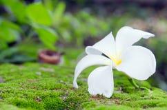 Άσπρο λουλούδι Plumeria στο βρύο και bokeh το υπόβαθρο άλλα ονόματα Στοκ Εικόνες