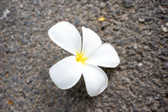 Άσπρο λουλούδι Plumeria στο πάτωμα Στοκ φωτογραφίες με δικαίωμα ελεύθερης χρήσης