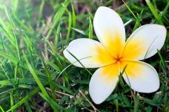Άσπρο λουλούδι plumeria στο πράσινο πάτωμα χλόης Στοκ Εικόνες