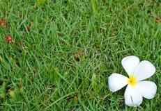 Άσπρο λουλούδι plumeria στο πράσινο υπόβαθρο τομέων χλόης Έννοια για τη σύσταση SPA Στοκ Εικόνα