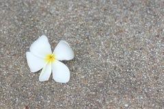 Άσπρο λουλούδι Plumeria Στοκ Φωτογραφία