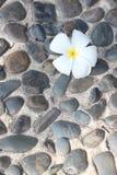 Άσπρο λουλούδι Plumeria Στοκ Εικόνες