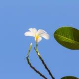 Άσπρο λουλούδι Plumeria Στοκ φωτογραφία με δικαίωμα ελεύθερης χρήσης