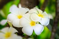 Άσπρο λουλούδι Plumeria Στοκ Φωτογραφίες