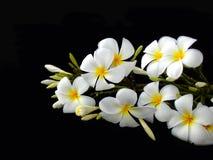 Άσπρο λουλούδι Plumeria Στοκ φωτογραφίες με δικαίωμα ελεύθερης χρήσης