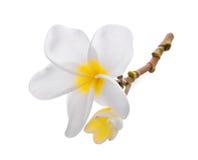 Άσπρο λουλούδι plumeria frangipani που απομονώνεται στο λευκό Στοκ φωτογραφία με δικαίωμα ελεύθερης χρήσης