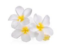 Άσπρο λουλούδι plumeria frangipani που απομονώνεται στο λευκό Στοκ Εικόνες