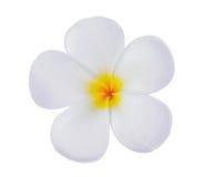 Άσπρο λουλούδι plumeria frangipani που απομονώνεται στο λευκό Στοκ Φωτογραφίες