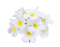 Άσπρο λουλούδι plumeria frangipani που απομονώνεται στο λευκό Στοκ εικόνα με δικαίωμα ελεύθερης χρήσης