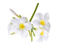 Άσπρο λουλούδι plumeria frangipani που απομονώνεται στο λευκό Στοκ φωτογραφίες με δικαίωμα ελεύθερης χρήσης