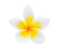 Άσπρο λουλούδι plumeria frangipani που απομονώνεται στο λευκό Στοκ Εικόνα