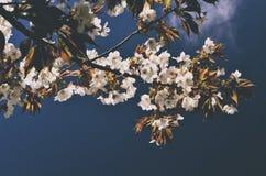 Άσπρο λουλούδι sakura που ανθίζει στο υπόβαθρο μπλε ουρανού, εκλεκτής ποιότητας sty Στοκ Φωτογραφία