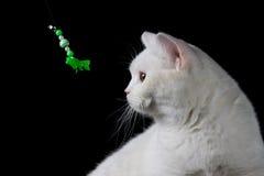 Άσπρο παιχνίδι γατών με το παιχνίδι Στοκ Εικόνες