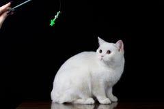 Άσπρο παιχνίδι γατών με το παιχνίδι Στοκ εικόνα με δικαίωμα ελεύθερης χρήσης