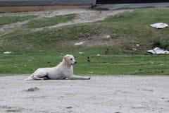 Άσπρο περιπλανώμενο σκυλί Στοκ Φωτογραφίες