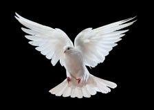 Άσπρο περιστέρι κατά την πτήση στοκ φωτογραφίες με δικαίωμα ελεύθερης χρήσης