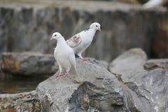 Άσπρο περιστέρι περιστεριών δύο στο Stone Στοκ φωτογραφίες με δικαίωμα ελεύθερης χρήσης
