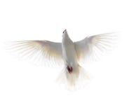 Άσπρο περιστέρι που απομονώνεται κατά την πτήση στο άσπρο υπόβαθρο Στοκ εικόνα με δικαίωμα ελεύθερης χρήσης