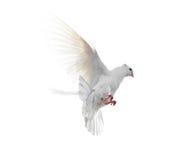 Άσπρο περιστέρι που απομονώνεται κατά την πτήση στο άσπρο υπόβαθρο Στοκ Εικόνες