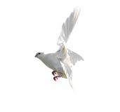 Άσπρο περιστέρι που απομονώνεται κατά την πτήση στο άσπρο υπόβαθρο Στοκ εικόνες με δικαίωμα ελεύθερης χρήσης