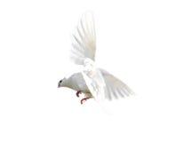 Άσπρο περιστέρι που απομονώνεται κατά την πτήση στο άσπρο υπόβαθρο Στοκ Εικόνα