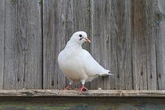 Άσπρο περιστέρι που στέκεται σε ένα πόδι στο γείσο Στοκ Εικόνες