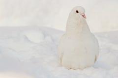 Άσπρο περιστέρι στο άσπρο χιόνι Στοκ Φωτογραφία
