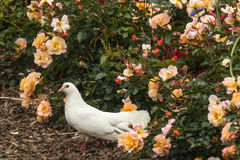 Άσπρο περιστέρι στο κρεβάτι των τριαντάφυλλων Στοκ Φωτογραφίες