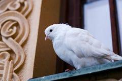Άσπρο περιστέρι στοκ φωτογραφίες