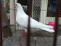Άσπρο περιστέρι στοκ φωτογραφία