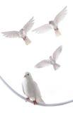 Άσπρο περιστέρι Στοκ φωτογραφίες με δικαίωμα ελεύθερης χρήσης