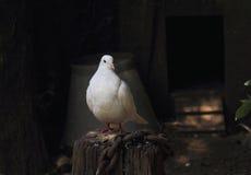 Άσπρο περιστέρι Στοκ Εικόνες